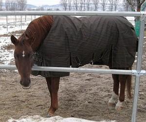 Quarterhorse mit Pferdedecke Free moving